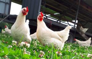 Low Sizergh's secret to delicious, fresh eggs
