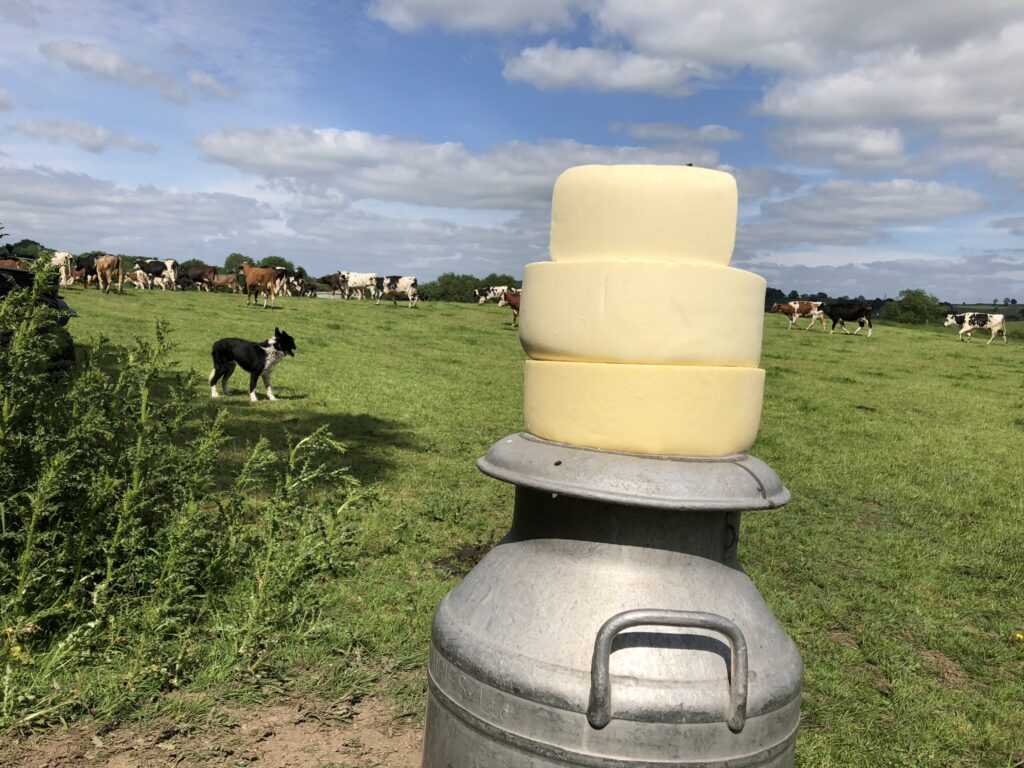cheese made with milk from the organic dairy herd at Low Sizergh Farm