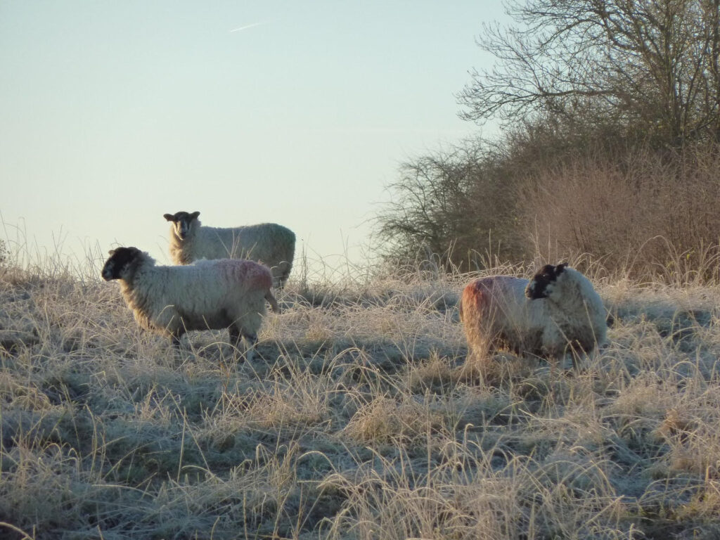 rotational grazing for sheep