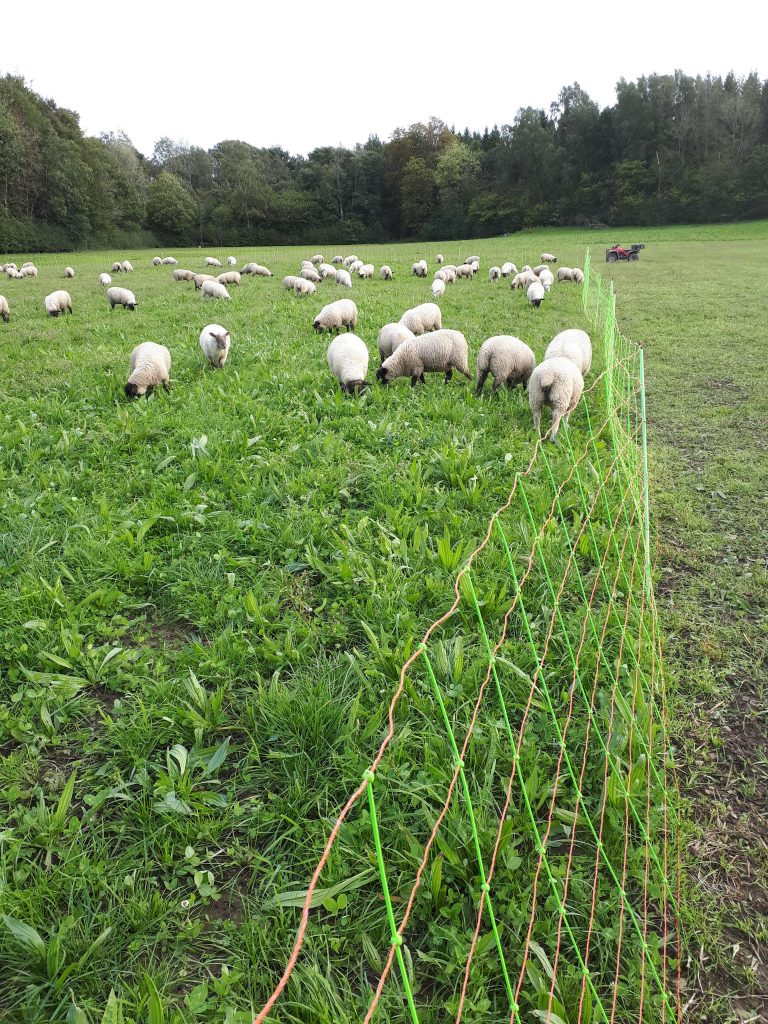sheep enjoying rotational grazing
