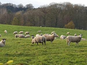 Highlanders arrive at Low Sizergh Farm