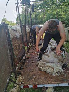 Sheep shearing: low wool prices
