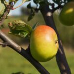 organic orchards at Low Sizergh